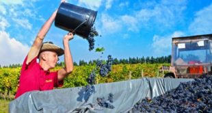 Sezona berbe na Plantažama: Malo ko hoće da radi za 35 eura dnevno